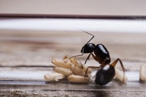you need a professional to provide ant control if you want effective results