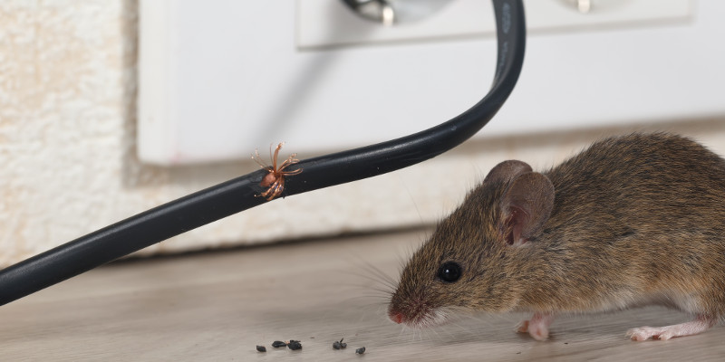 Rat eating electric wire