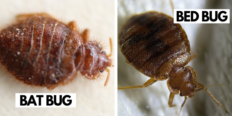 Bat Bug vs. Bed Bug