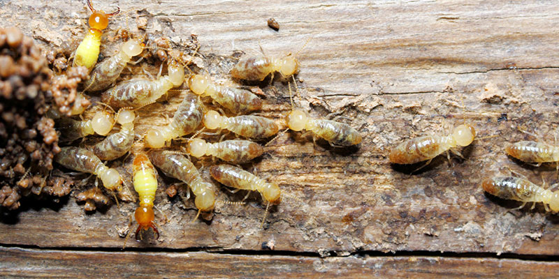 signs that you need termite removal